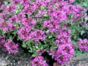 Thymus Serpyllum Wild Thyme Herbal Medicine