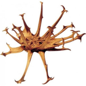 Devils Claw Tincture Harpagophytum procumbens